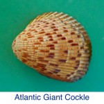 Cockle -Atlantic Giant ID