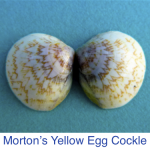 Cockle- Morton's Yellow Egg Seashell ID