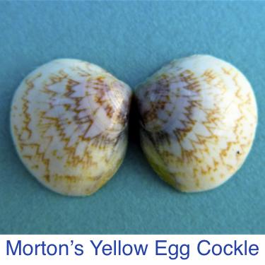 Cockle- Morton's Yellow Egg Seashell ID