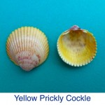 Cockle Yellow Prickly Shell ID