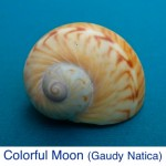 Colorful Moon Gaudy Natica ID