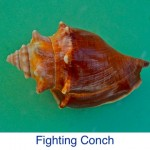 Conch- Fighting ID