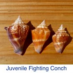 Conch - Juvenile Fighting