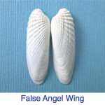 False Angel Wing Shell ID