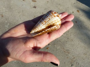 Large alphabet cone shell