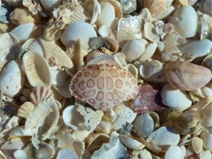 Leopard Crab shell
