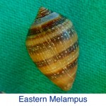 Melampus - Eastern ID