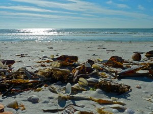 Middle Gulf wrack line