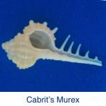 Murex - Cabrits ID