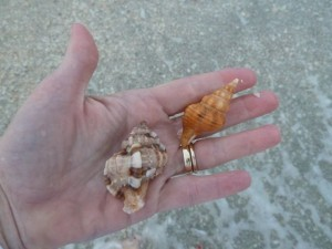 Murex and horse conch