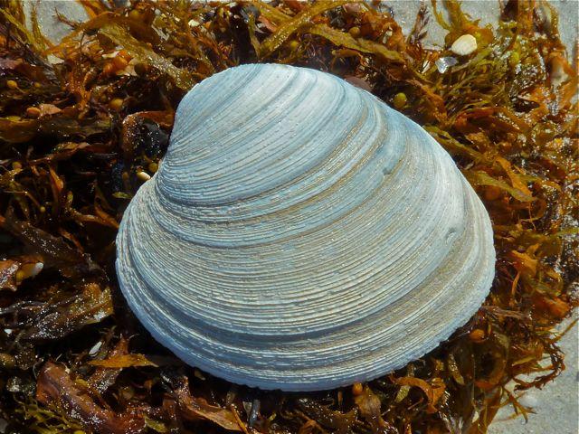 Quahog Clam Shell Quahog clam id