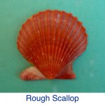 Rough Scallop Shell Identification