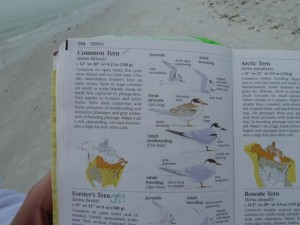 Sibley Common Tern page