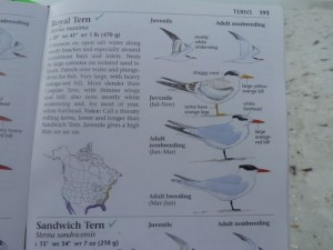 Sibley Royal tern page