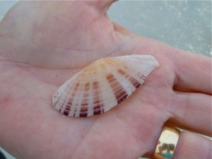 Speckled Speckled tellin bivalve seashell