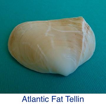 Tellin | Atlantic Fat Shell ID
