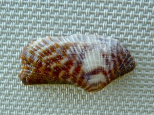 Turkey Wing seashell