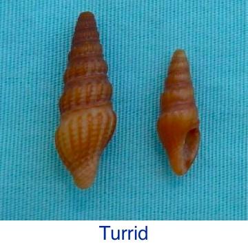 Turrid Seashell ID