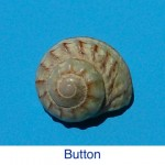 Button Shell Seashell Identification
