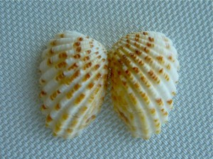 double Broad-Ribbed Cardita seashell