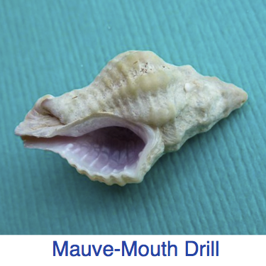mauve-mouth drill ID