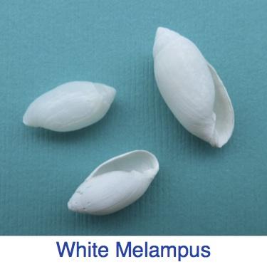 white melampus ID