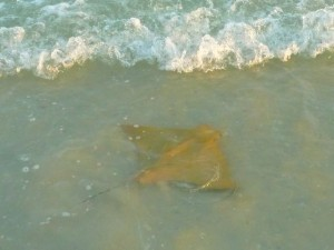 Cownose ray in surf