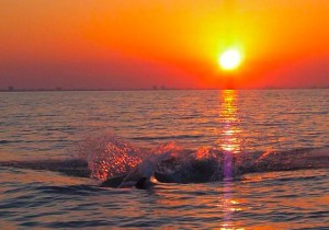 Dolphin splash in Sanibel sunset