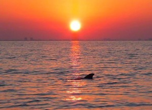 Sanibel Dolphin at sunrise
