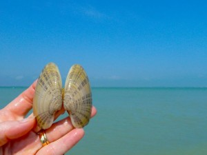 Sunray venus clam Sanibel lighthouse