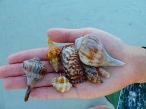 beachcombing shells