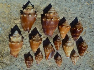 fighting conchs and juveniles