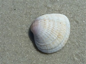Cross Barred venus Seashell