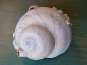 Lewis Moon Snail