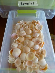 Semele seashell drawer