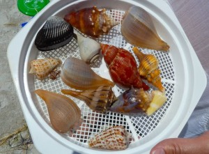 Top ten seashells