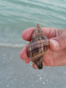 banded tulip Sanibel shell