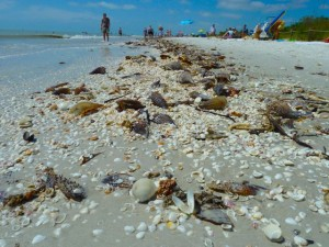 wrack of Sanibel seashells