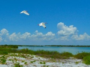 2 Ibis fly North Captiva