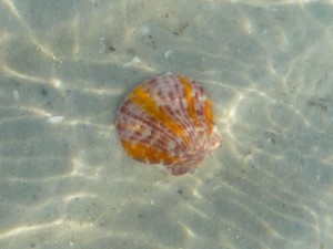 Calico Scallop  in shallows