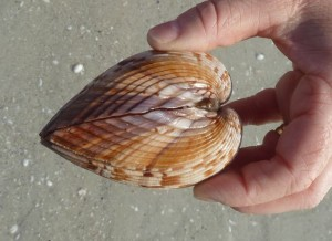 Empty cockle shell