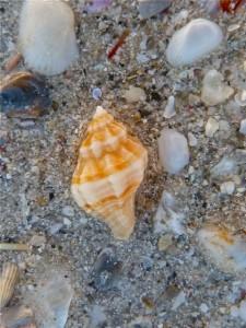 Gulf Oyster Drill