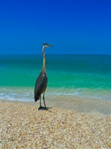 Sanibel Great Blue Heron Bird