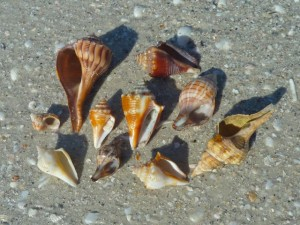 Sanibel mollusk shells