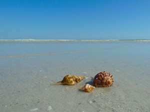 seashells in the sundial surf