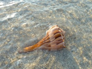 whelk in shallow