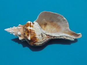 14 inch horse conch aperture
