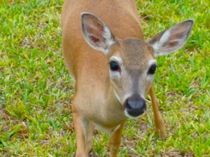 Big Pine Key Deer
