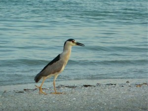 Black-Crowned Night Heron Sanibel