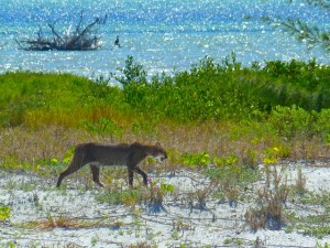 Bobcat on Florida Beach